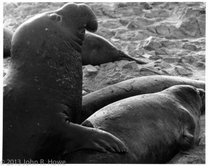 elephant seal (6 of 12)
