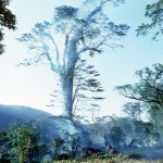 Massive old rainforest tree set afire by farmers clearing land for crops and cattle.